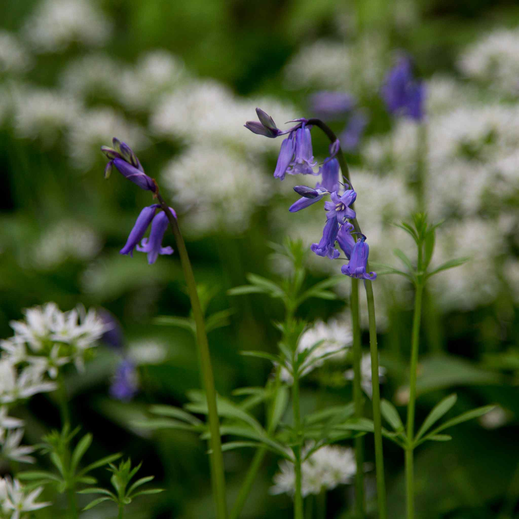 Bluebells and Wild Garlic in the woodland