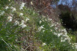 Showing off its daffodil farm history