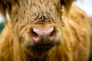 Shaggy Highland Cattle graze the Salt Marsh