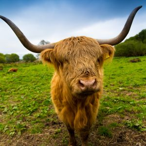 A welcome from one of the Highland Cows