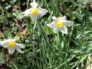 Daffodils & Violets