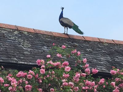 Peacock roosting on the roof