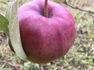 Apples galore