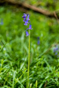 Bluebells in the woods during April / May