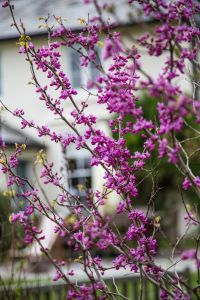 Judas tree flowering in April