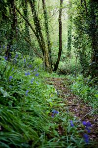 Woodland bluebells in late Spring