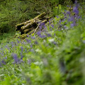 Bluebells in late Spring
