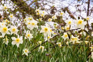 Daffodils galore