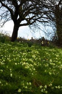 Primroses in the orchard