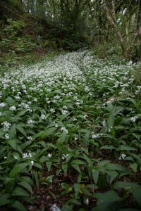 A carpet of Wild Garlic in the woods