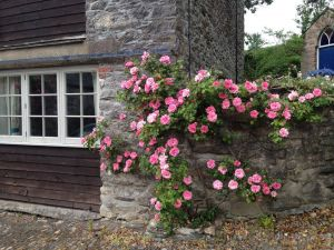 Barn Rose