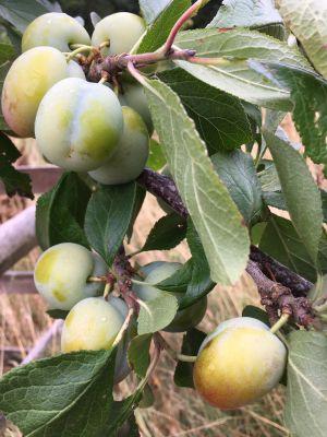 Yummy plums