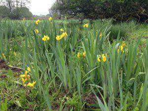 Yellow Flags On Marsh